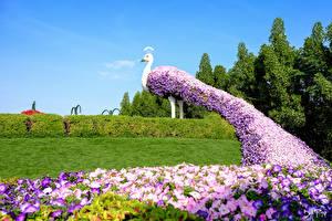 Обои Дубай ОАЭ Сады Петунья Павлины Дизайн Кусты Газон Miracle Garden Природа
