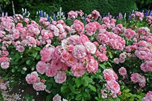 Картинки Англия Парки Розы Много Лондон Розовый Regents Park Queens Garden Цветы