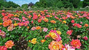 Фотографии Англия Парки Розы Много Лондон Кусты Regents Park Queens Garden Цветы