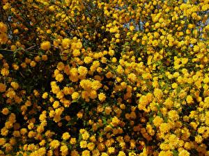 Картинки Цветущие деревья Много Желтый Kerria Japonica Цветы