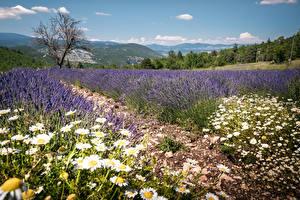 Картинка Франция Поля Лаванда Ромашки Холмы Provence Природа