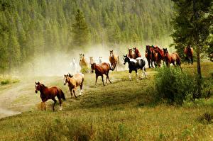 Фотографии Лошади Луга Бег Трава Животные