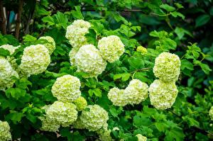 Фотография Гортензия Салатовый Цветы