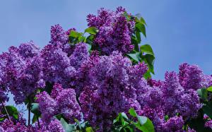 Картинки Сирень Фиолетовый
