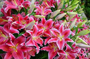 Фотография Лилии Крупным планом Розовая Цветы