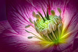 Фотографии Макросъёмка Вблизи Морозник Цветы