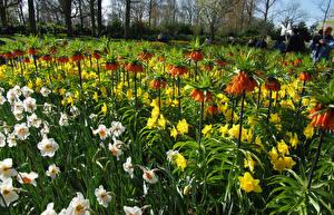 Фотография Нидерланды Парки Рябчик Нарциссы Много Keukenhof Цветы
