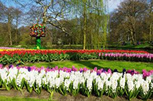 Картинки Нидерланды Парки Гиацинты Весенние Деревья Keukenhof