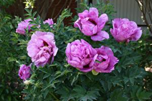 Фотография Пионы Фиолетовый Листья