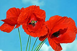 Обои Маки Вблизи Цветной фон Красная Цветы