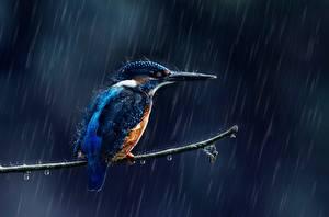 Картинка Дождь Птицы Обыкновенный зимородок Ветки