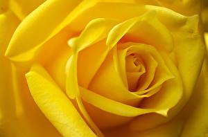 Обои Розы Крупным планом Макро Желтый Цветы