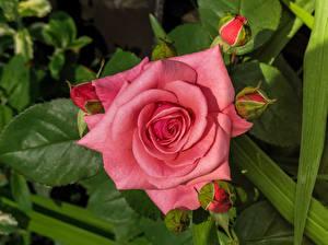 Фотография Розы Вблизи Розовый Цветы