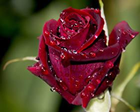 Фотографии Розы Крупным планом Бордовый Капли Цветы