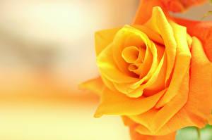 Фото Розы Крупным планом Желтый Цветы