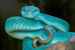 Обои Змеи Вблизи Голубой Языком Vipera berus Животные