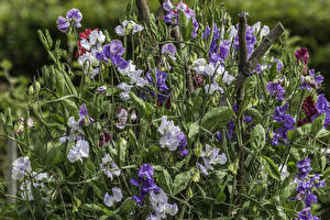 Фото Душистый горошек Вблизи Цветы
