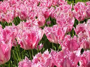 Фотография Тюльпаны Вблизи Розовый Цветы