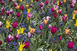 Картинки Тюльпан Много Незабудка Цветы