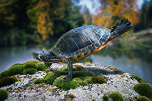 Фото Черепахи Оригинальные Гимнастика Животные