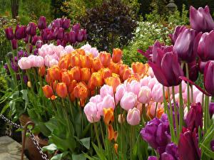 Фотографии Великобритания Парки Тюльпан Много Garden Harlow Carr цветок