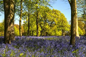 Фотографии Великобритания Весенние Колокольчики - Цветы Деревья Ствол дерева Whitmore