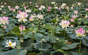 Фотографии Водяные лилии Много Бутон цветок