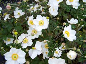 Обои Анемоны Крупным планом Белый Цветы