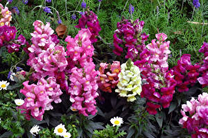 Фотография Антирринум Вблизи Цветы