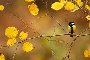 Фотографии Птицы Осень Ветвь Parus Животные