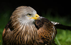 Картинка Птицы Ястреб Клюв Животные