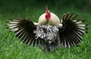 Картинка Птицы Петух Крылья