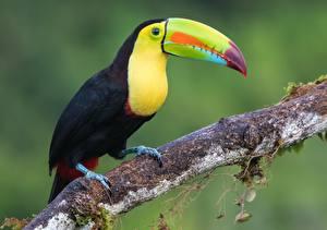 Фотография Птицы Туканы Клюв Keel-billed toucan