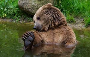 Обои Медведи Гризли Вода
