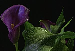 Фотография Каллы Крупным планом Макросъёмка Черный фон Фиолетовый Листва Капли Цветы