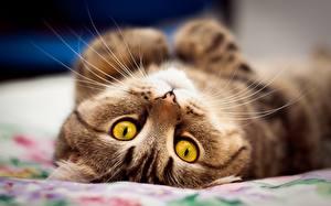 Фотография Кот Смотрят Усы Вибриссы Морды Милые Животные