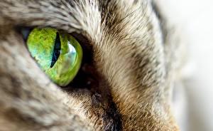 Фото Кошки Макро Глаза Крупным планом Животные