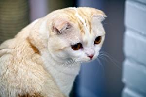 Картинки Кошки Скоттиш-фолд Белая