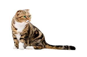 Картинка Кошки Белый фон Взгляд