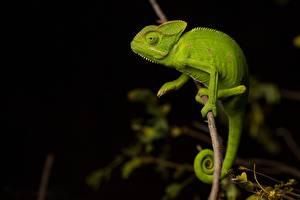 Картинка Хамелеон Зеленый Ветвь