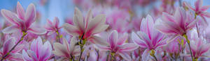 Картинка Вблизи Магнолия Цветы
