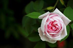 Фото Крупным планом Розы Белый Цветы