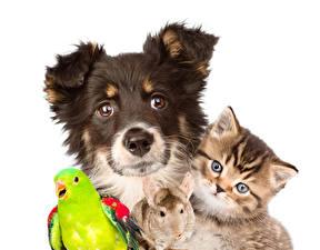 Картинка Собаки Кошки Попугаи Грызуны Белый фон Взгляд chinchilla Животные