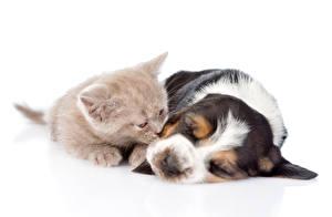 Обои Собака Кот Белый фон Вдвоем Котенок Бассет хаунд Спящий Щенка Животные