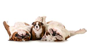 Картинки Собаки Белый фон Трое 3 Бульдог Щенки Смешные Животные