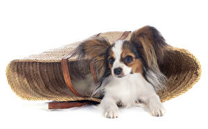 Фотография Собака Белый фон Корзинка Чихуахуа животное