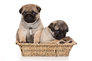 Обои Собаки Белый фон Корзина Двое Мопс Щенок Животные
