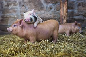 Картинка Домашняя свинья Сено Солома Животные