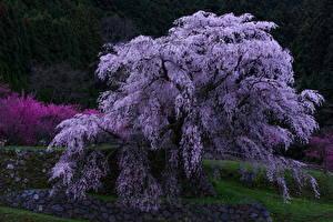 Обои Цветущие деревья Вечер Природа