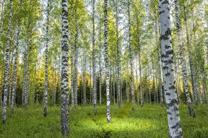 Фото Леса Береза Ствол дерева Деревья роща